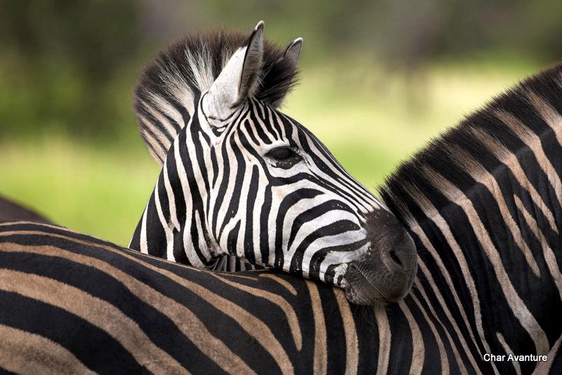 07. zebre v narodnem parku