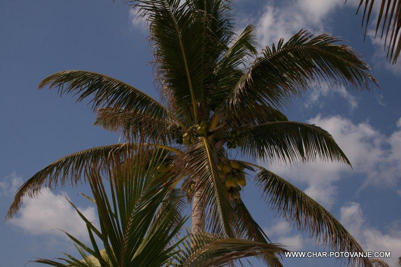 25._Kokos_del_vsakodnevne_prehrane_v_Belizeju