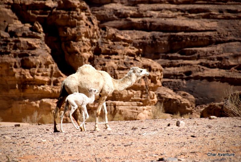 26. veliko je divjih kamel