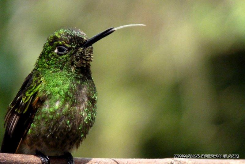 33.kolibriji_nas_vedno_cakajo