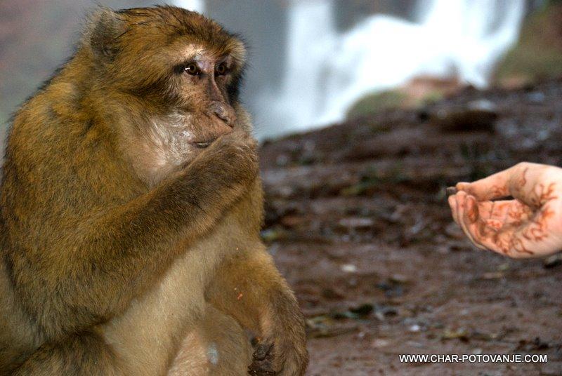 24. lacna berberska opica