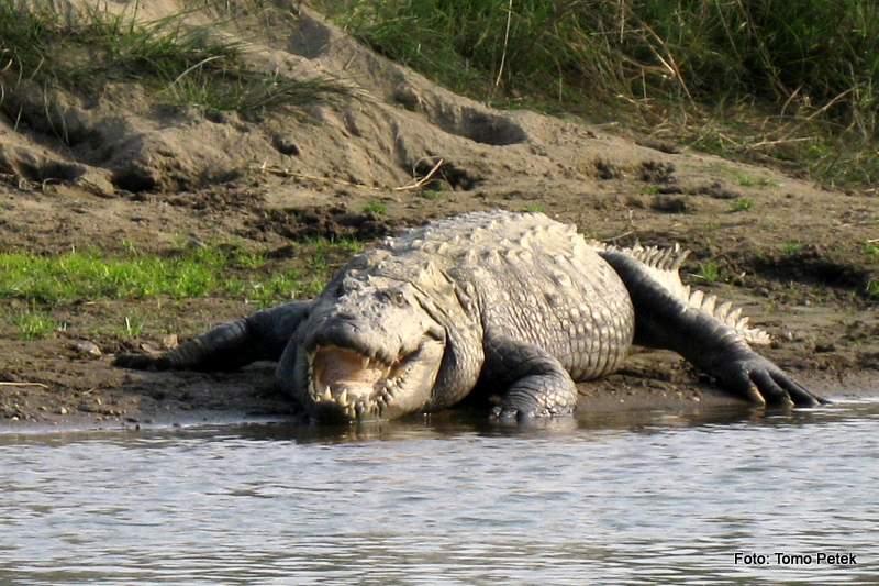 mislim da sem videl krokodila