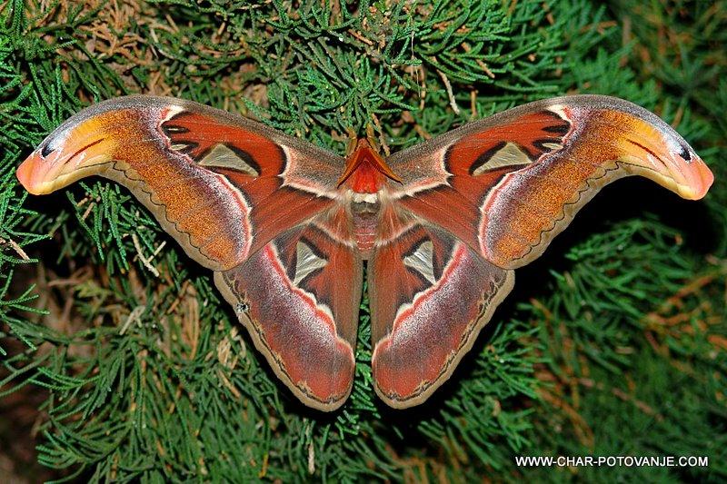34. gigantski nocni metulji merijo cez krilca do 20 cm