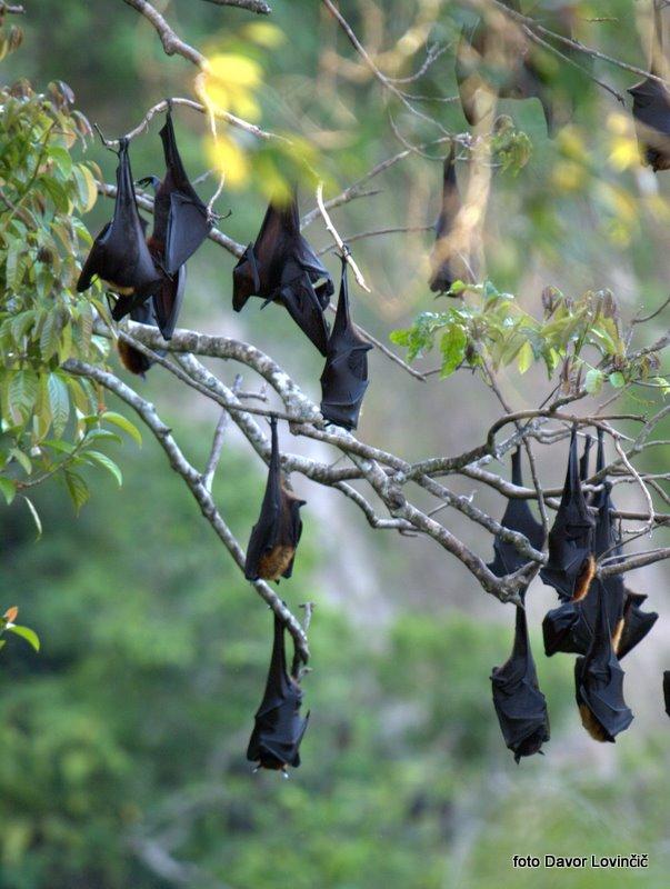 34. letece lisice cez dan spijo v drevesih