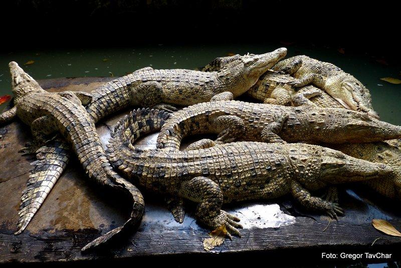 34. v krokodilji farmi