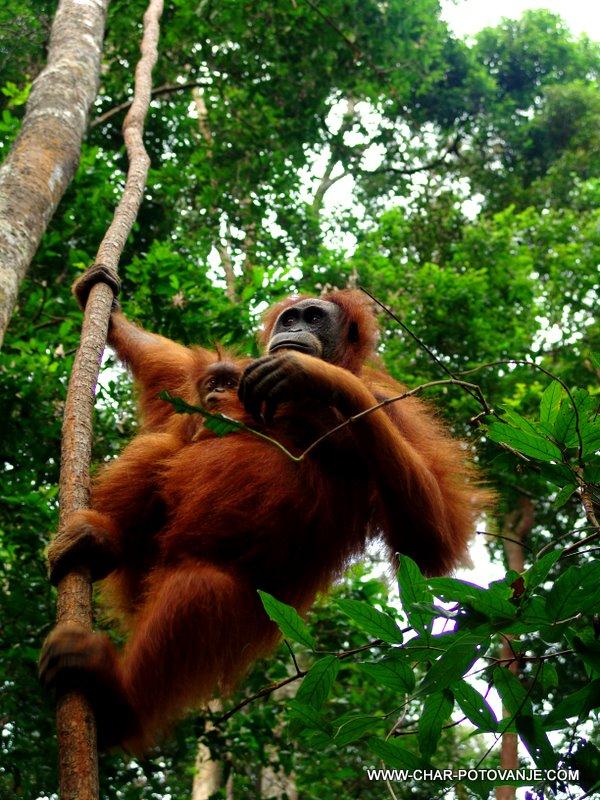 35. sumatrski orangutan je ogrozena vrsta